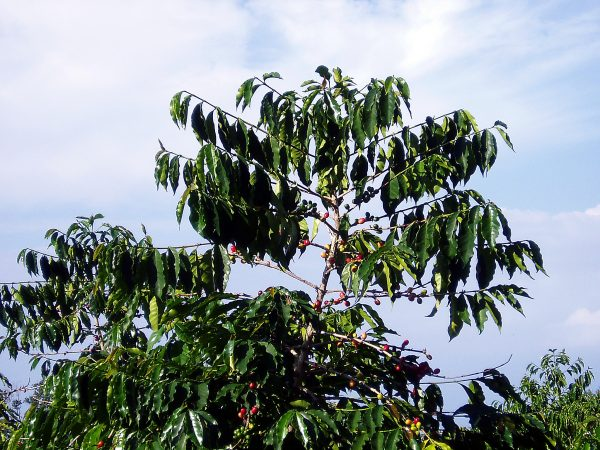 Convention Coffee Tree